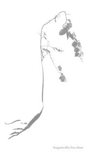 Bougainvillea bracchium RETOCADA